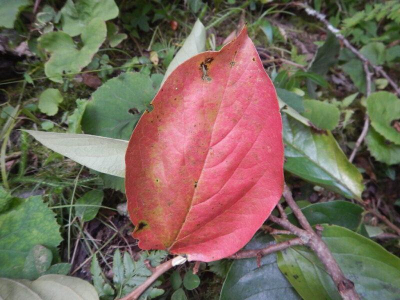 赤いカキノキの落ち葉