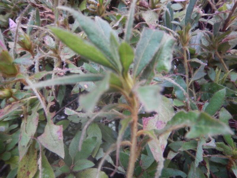 10月のモチツツジの葉