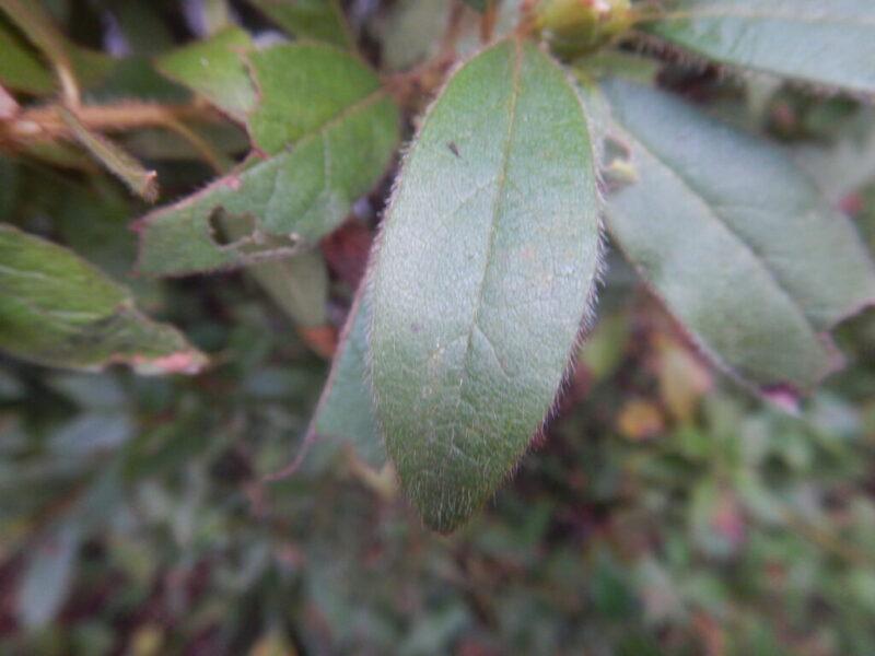 モチツツジの葉