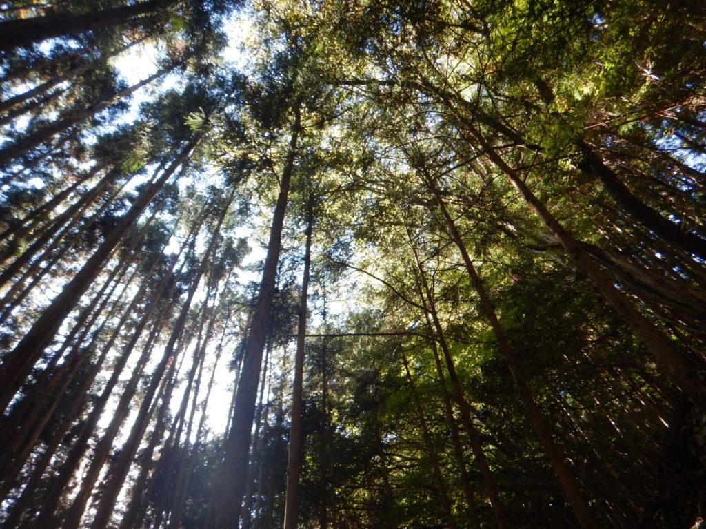 原木を置いた杉林