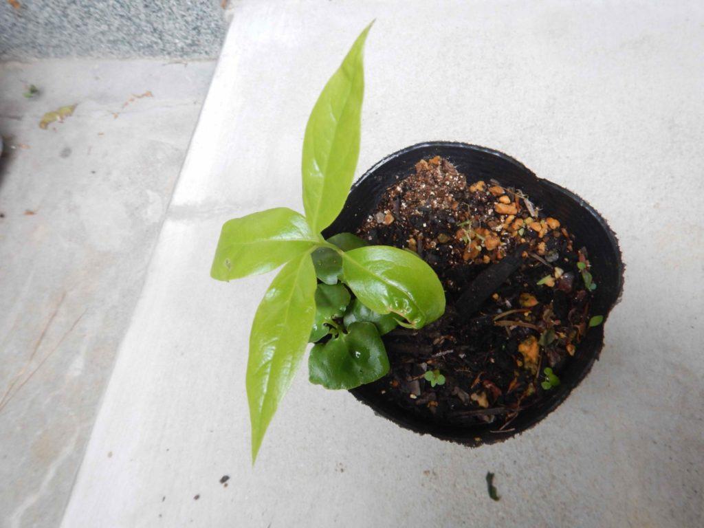 ロウバイの実生苗