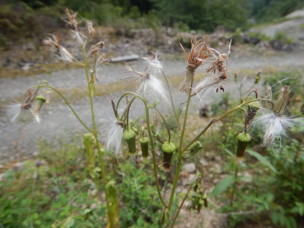 ダントボロギクの花と綿毛