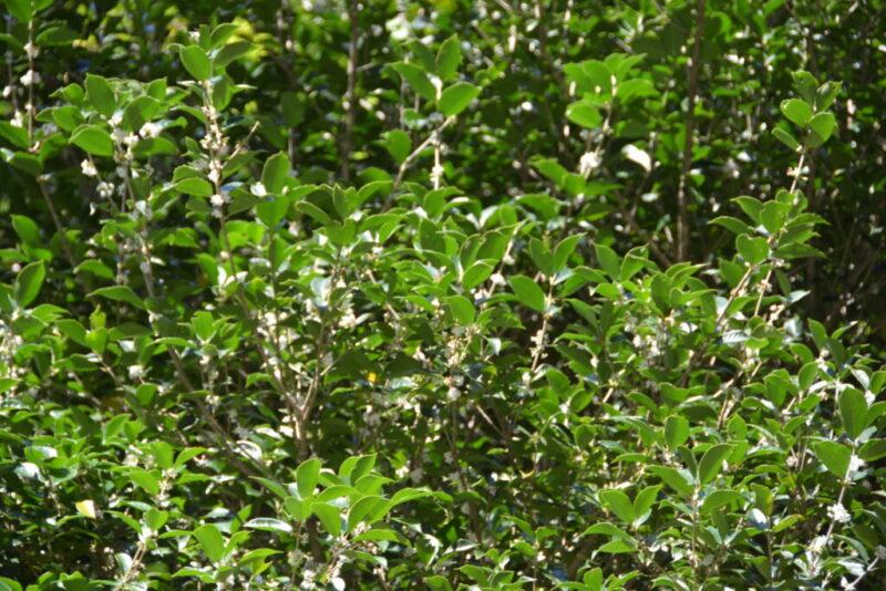 ヒイラギモクセイの白い花