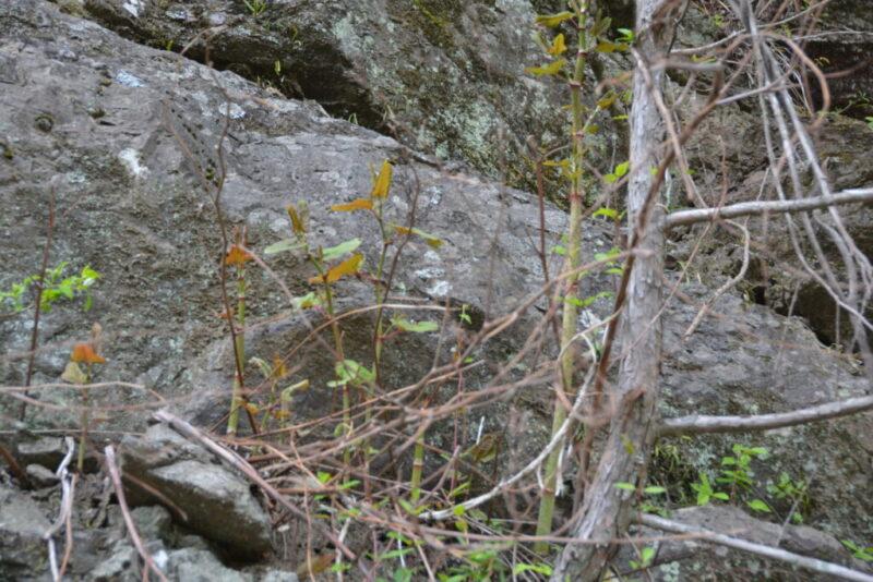 岩場で生えたイタドリ