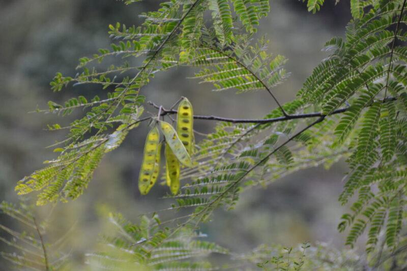 ネムノキの種子(9月中旬)