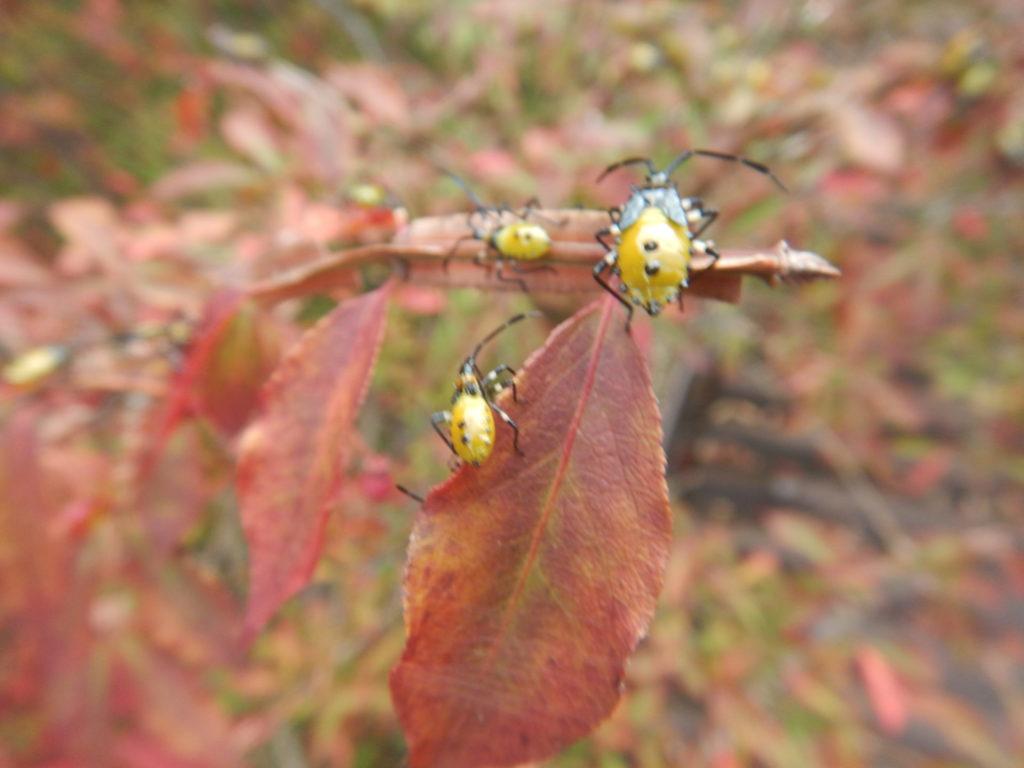 ニシキギの葉とキバラヘリカメムシ