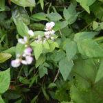 ヌスビトハギの葉