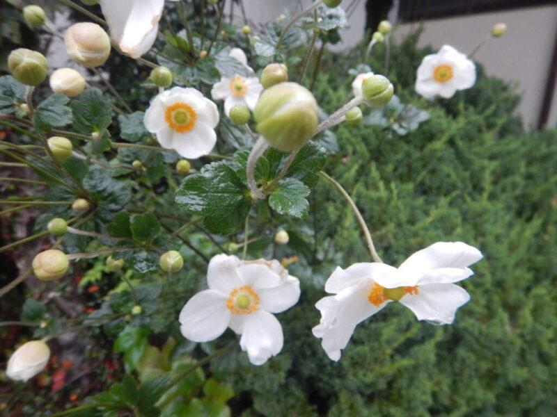 シュウメイギクの花とつぼみ