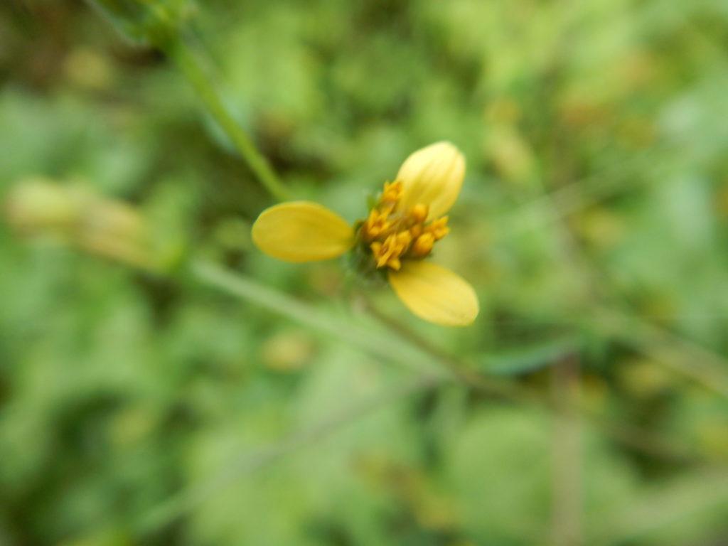 センダングサの花