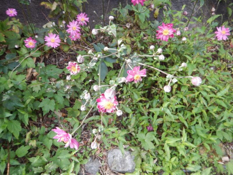 咲き乱れるシュウメイギク