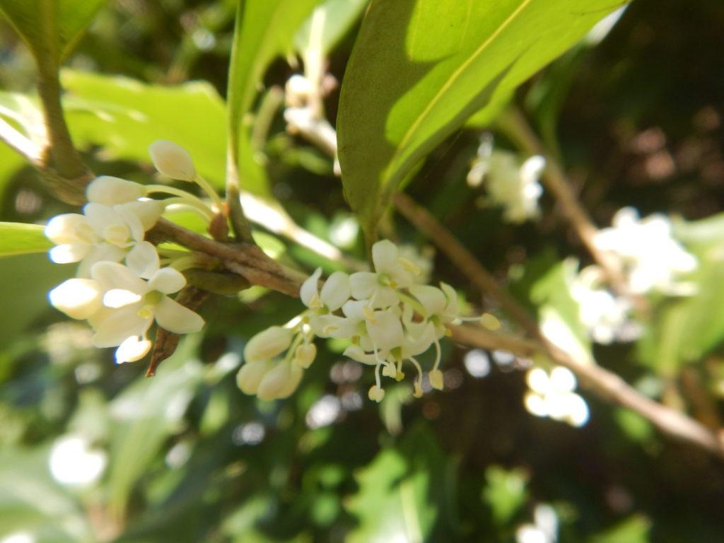 ヒイラギの花(1)