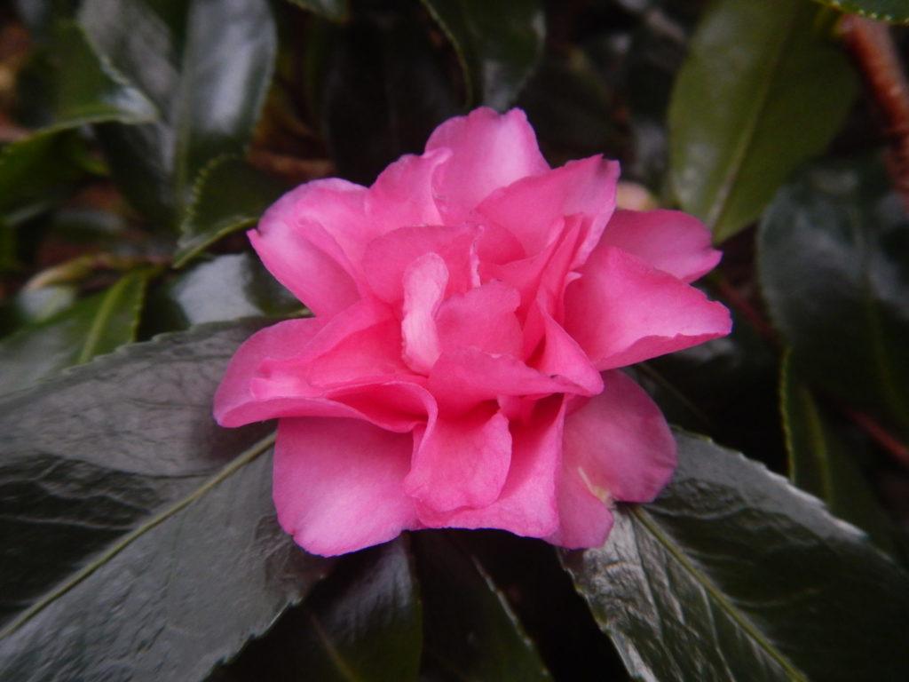 サザンカの花(2)