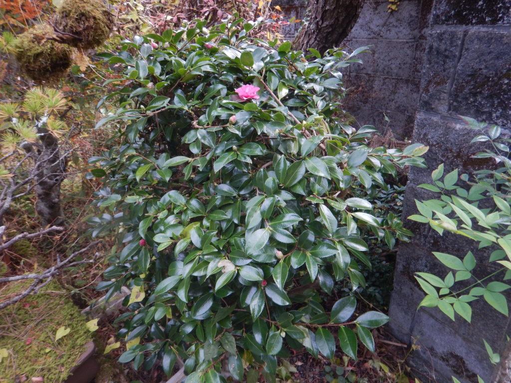 サザンカの樹(2)