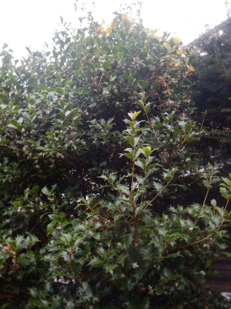 庭のヒイラギ