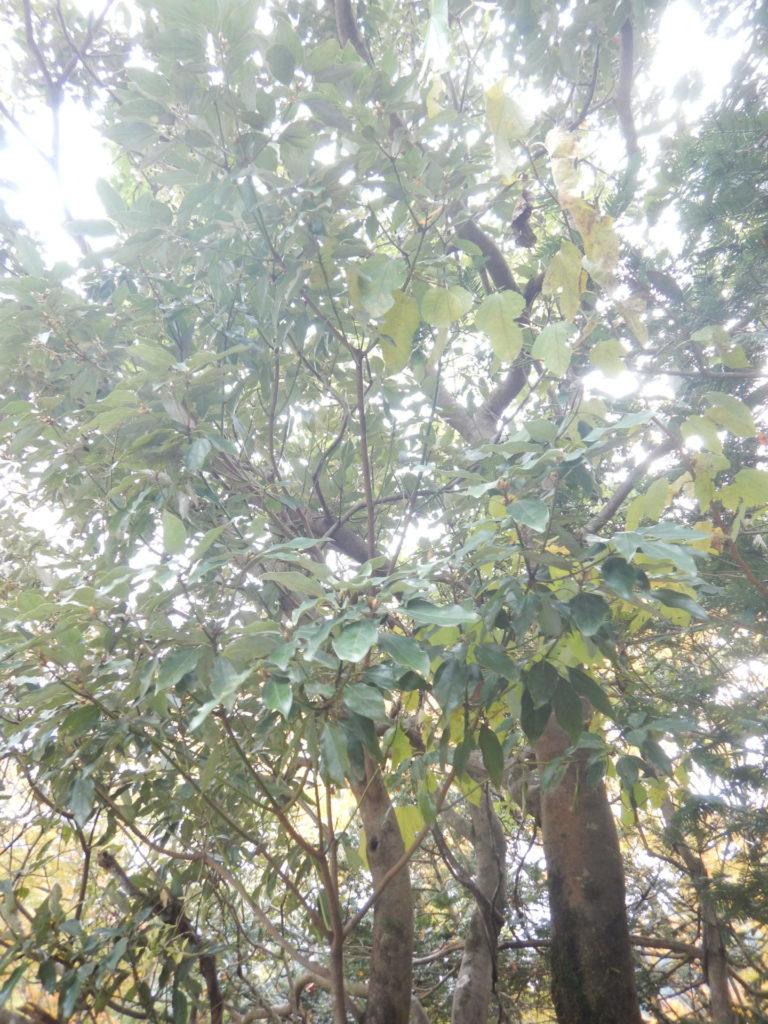 シロダモの樹