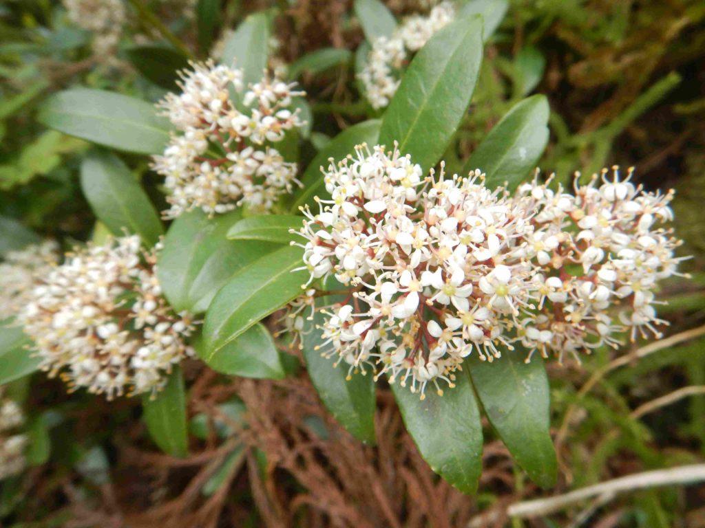 ミヤマシキミの花