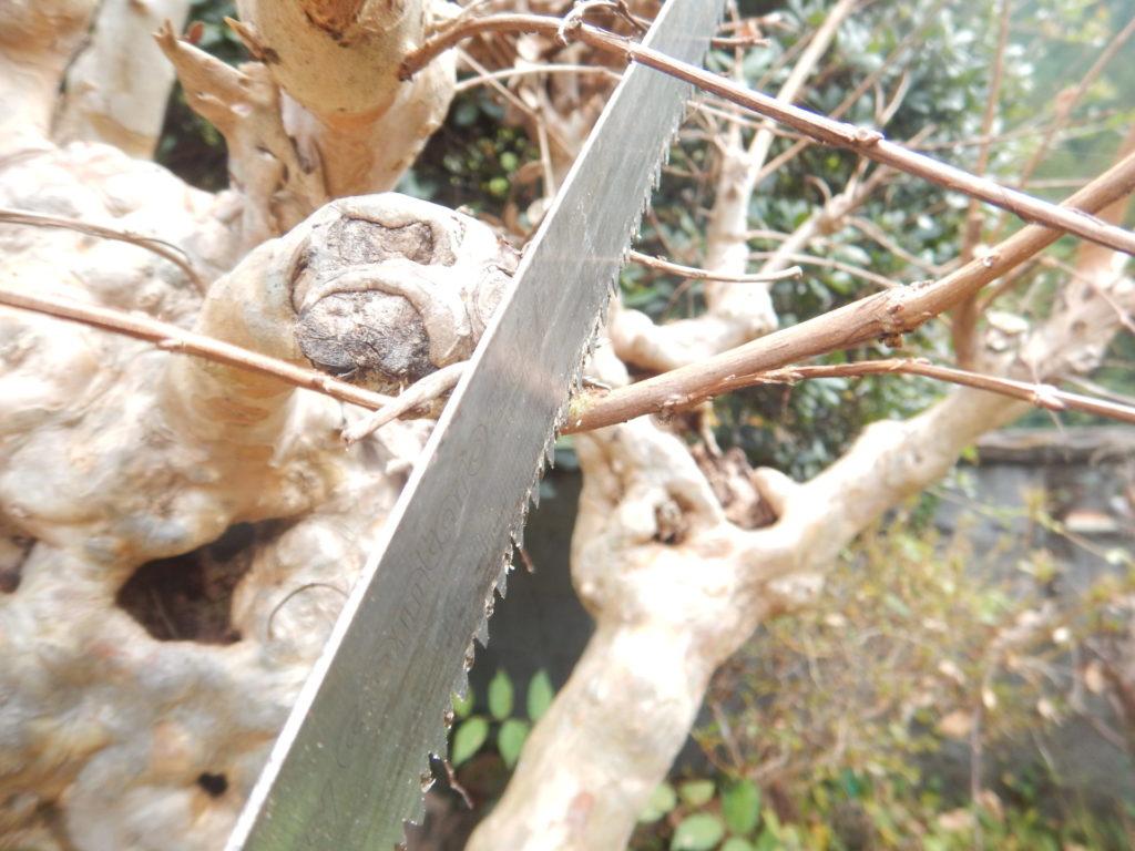 サルスベリの枝切り