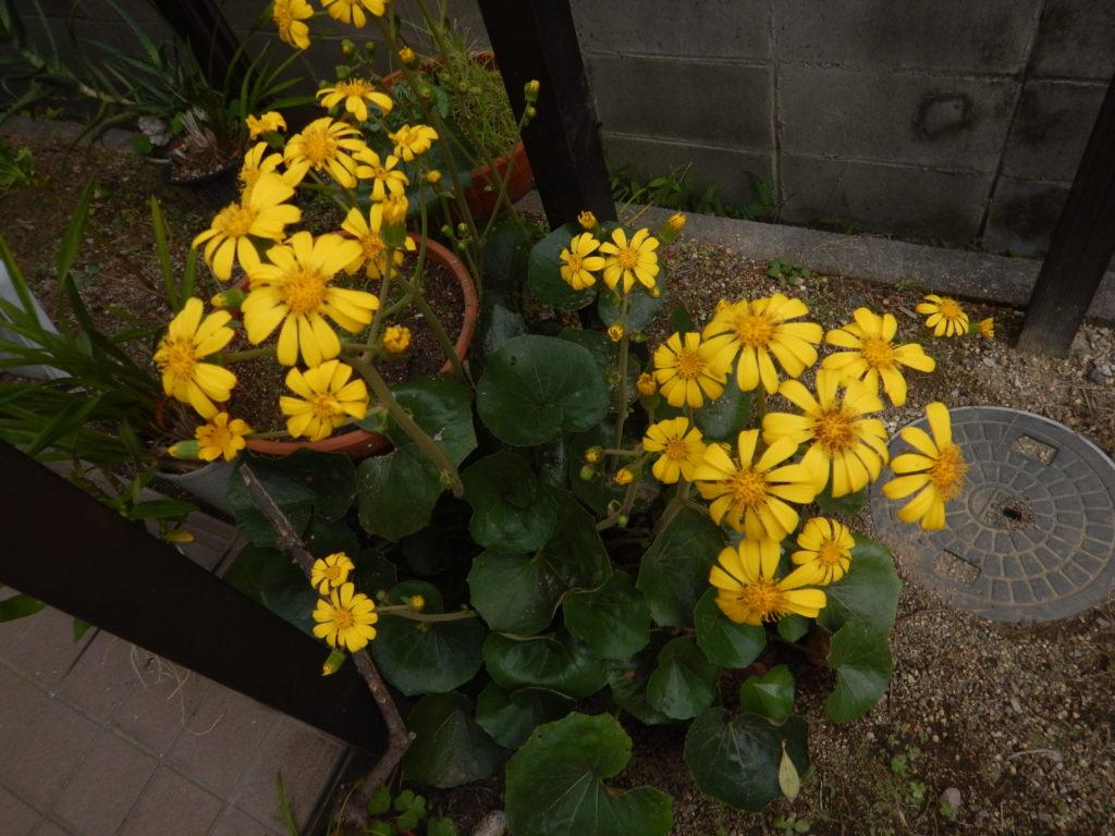 庭で咲いたツワブキ