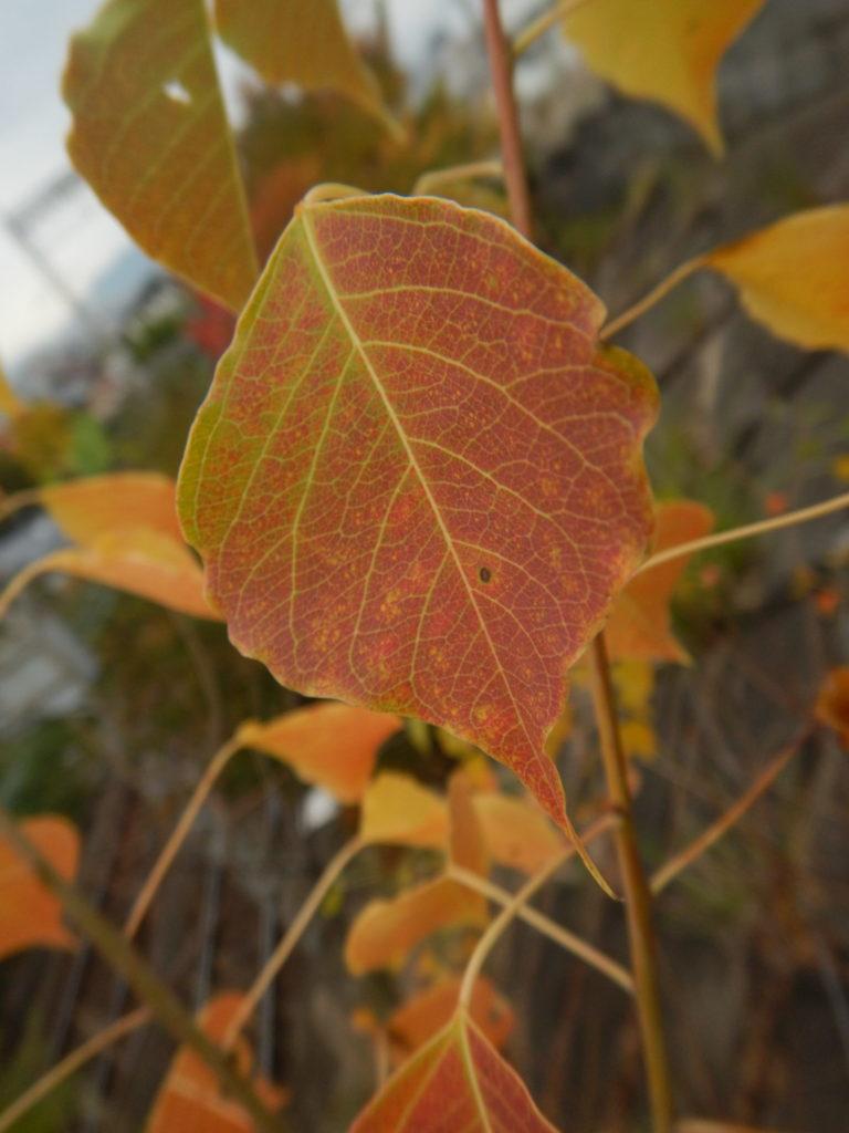 ナンキンハゼの葉