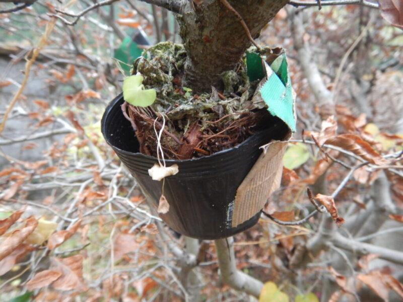 ブナの取り木