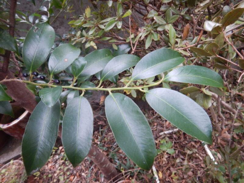 サカキの葉
