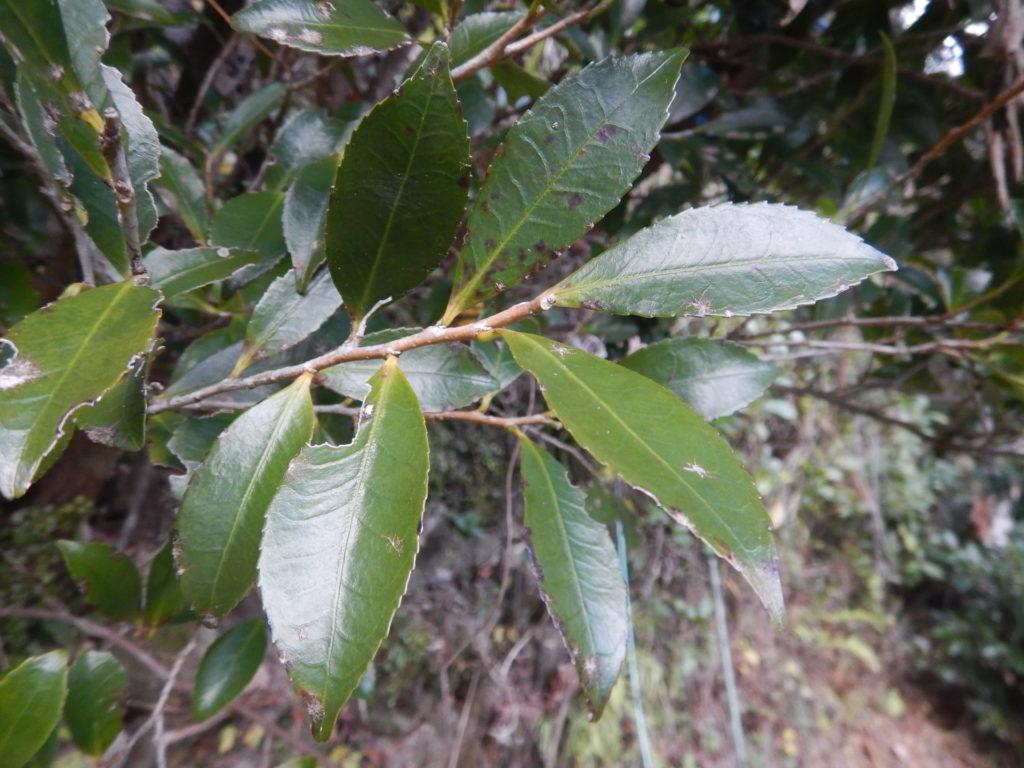 ヒサカキの枝