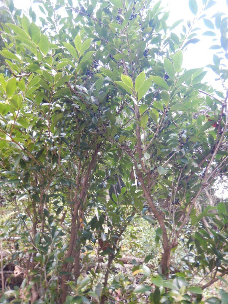 ヒサカキの樹