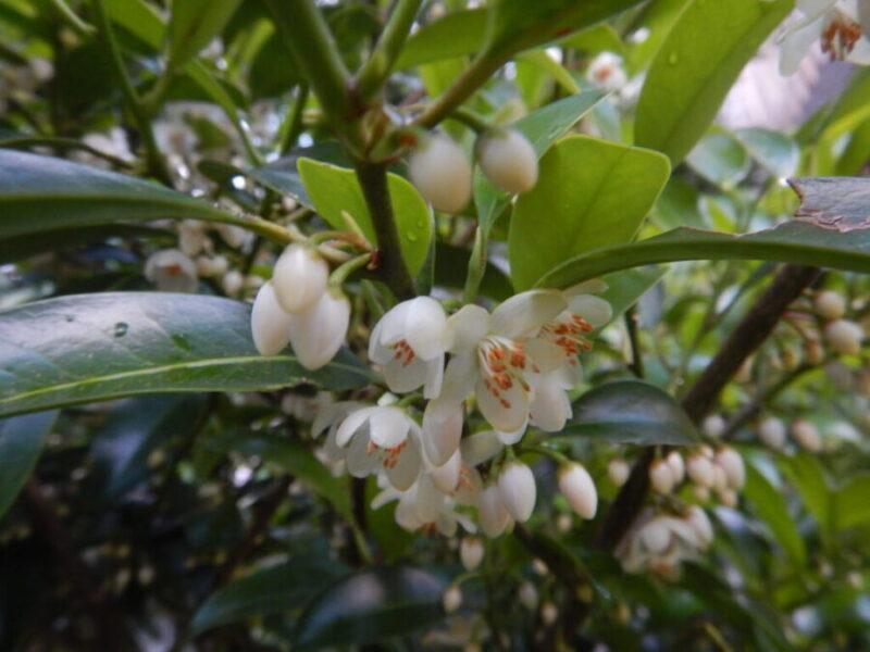 サカキの花