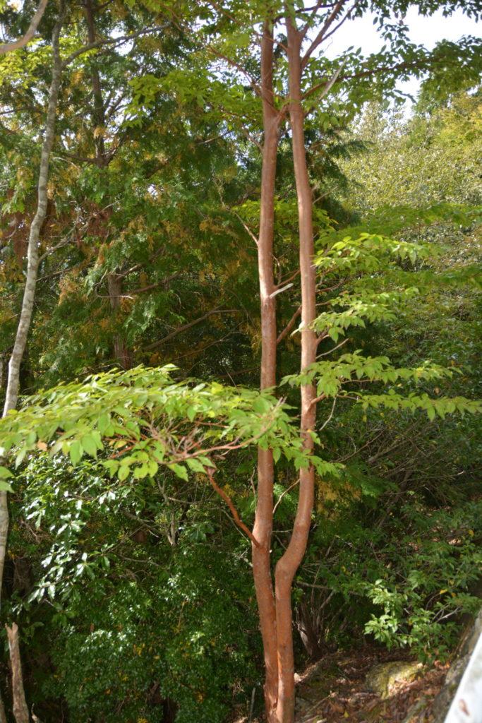 ヒメシャラの樹肌