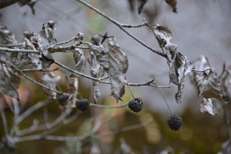 枯れた葉と実