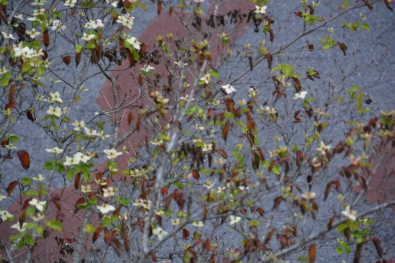 返り咲きしたヤマボウシ