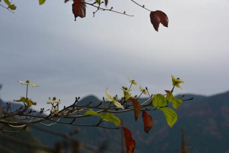 ヤマボウシの花と花芽