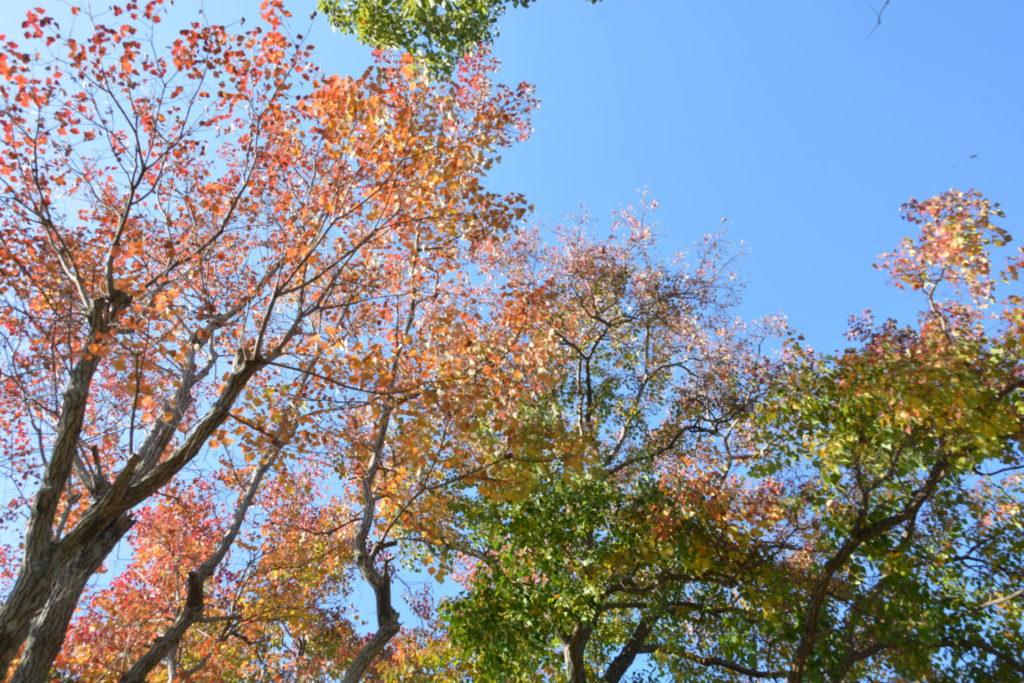 公園のナンキンハゼの紅葉