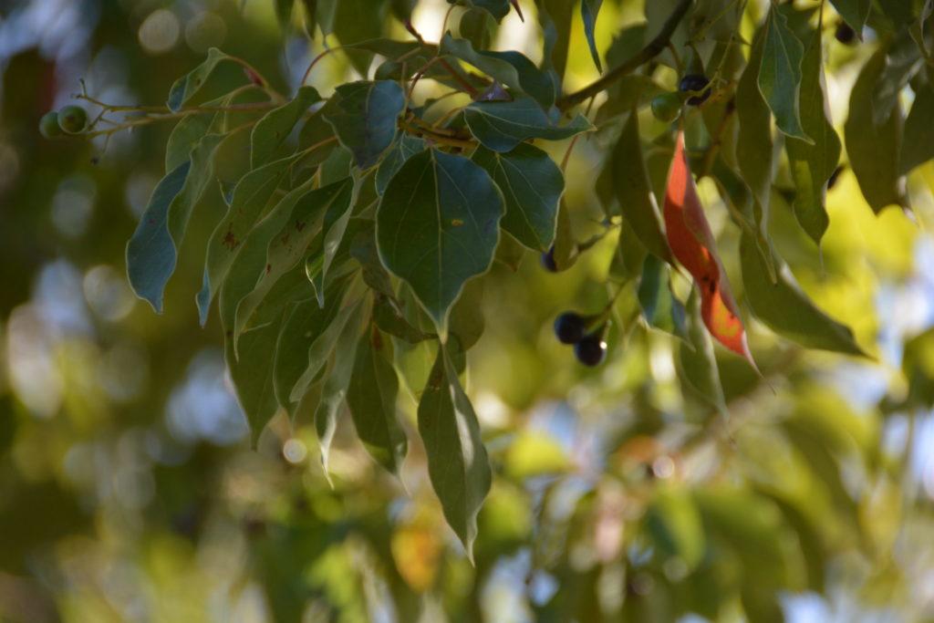 クスノキの葉の葉脈