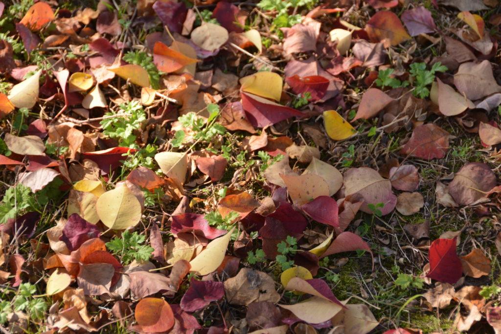 ナンキンハゼの落ち葉