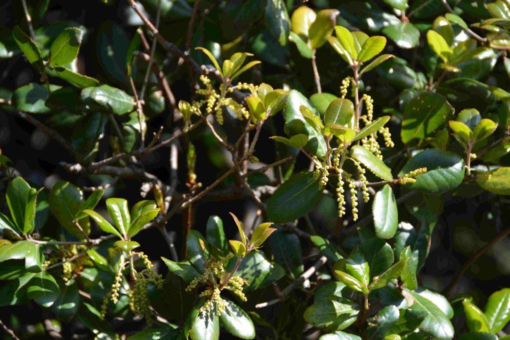 ウバメガシの花