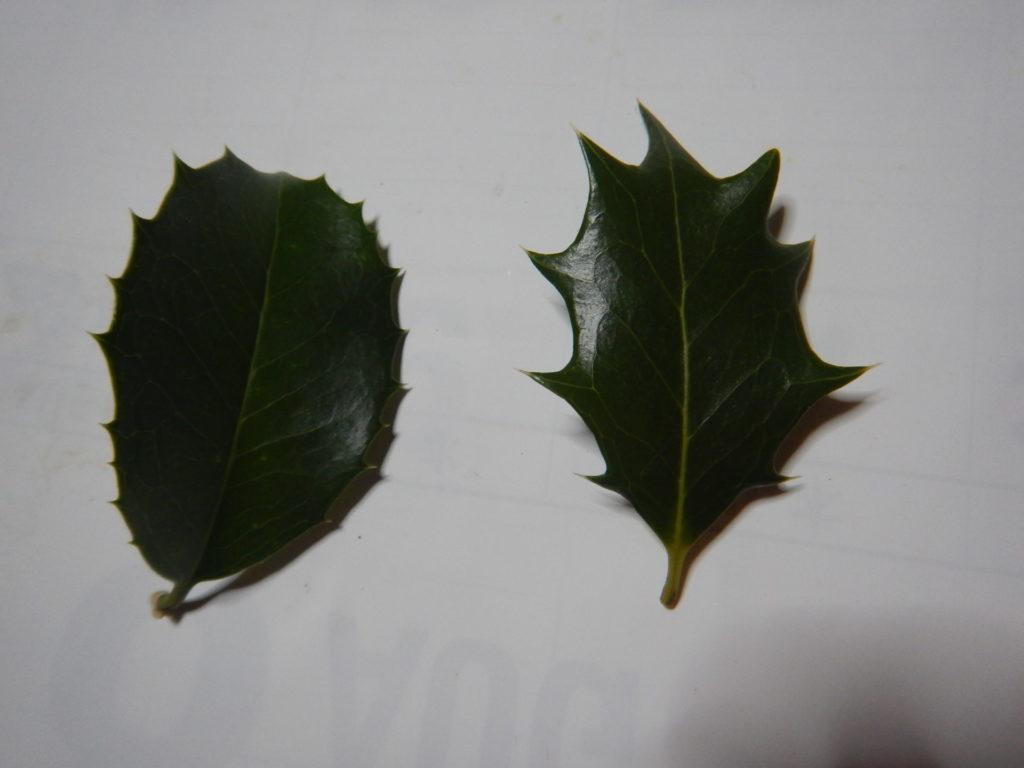 ヒイラギモクセイとヒイラギの葉(表)