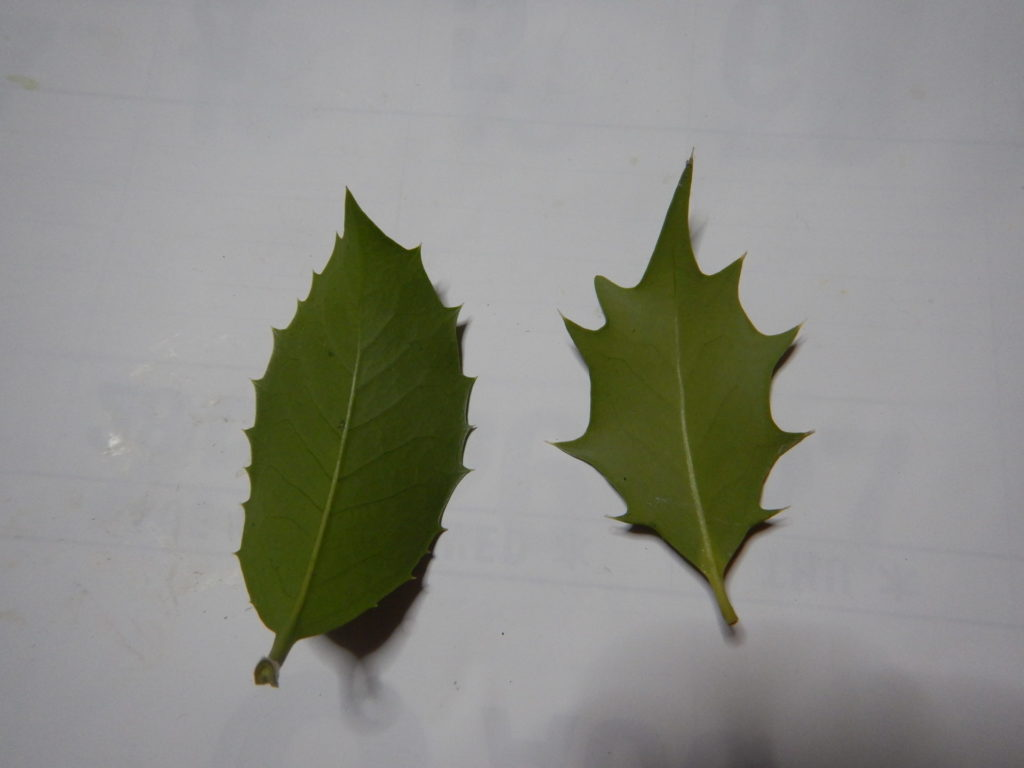 ヒイラギモクセイとヒイラギの葉(裏)