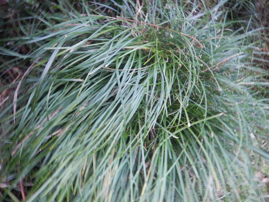 ジャノヒゲの葉