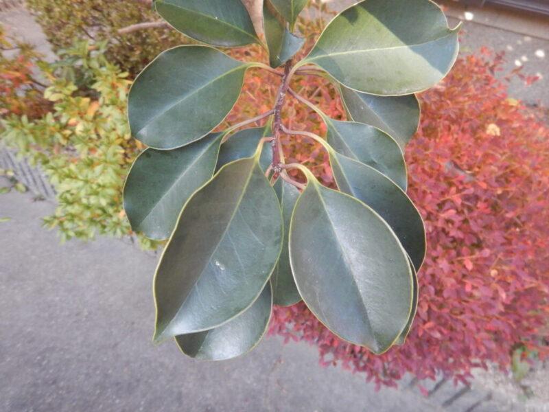 クロガネモチの葉