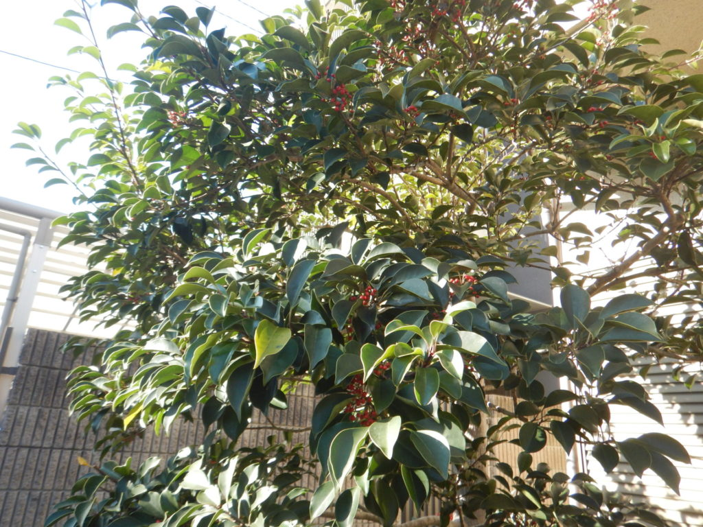 クロガネモチの樹