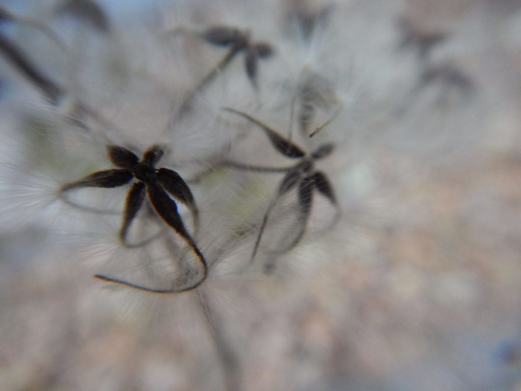 綿の中の種