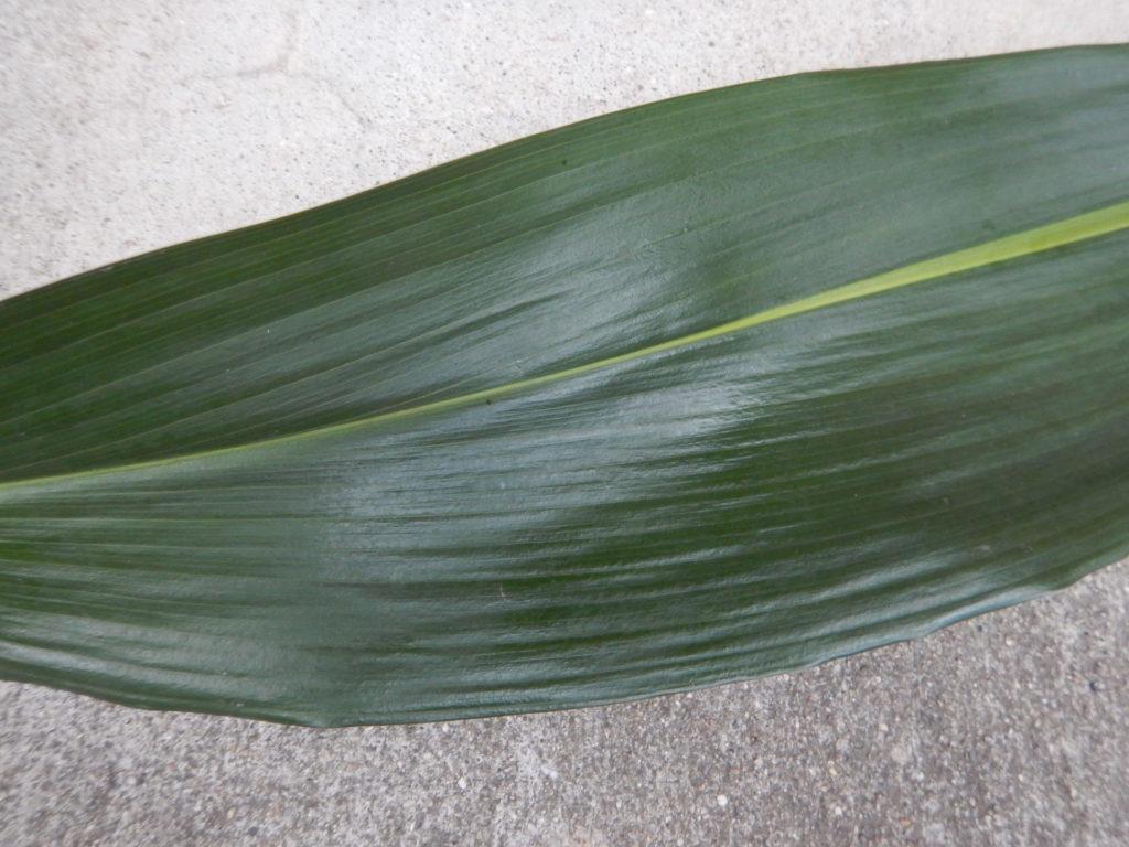 ハランの葉の表