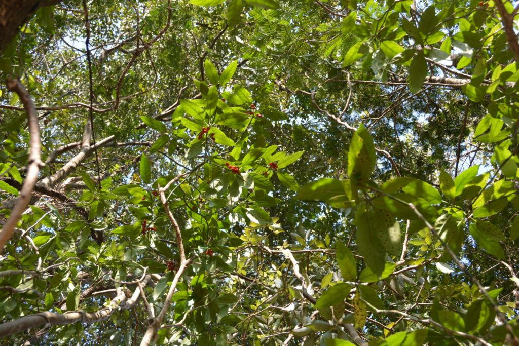 アオキと周囲の樹々