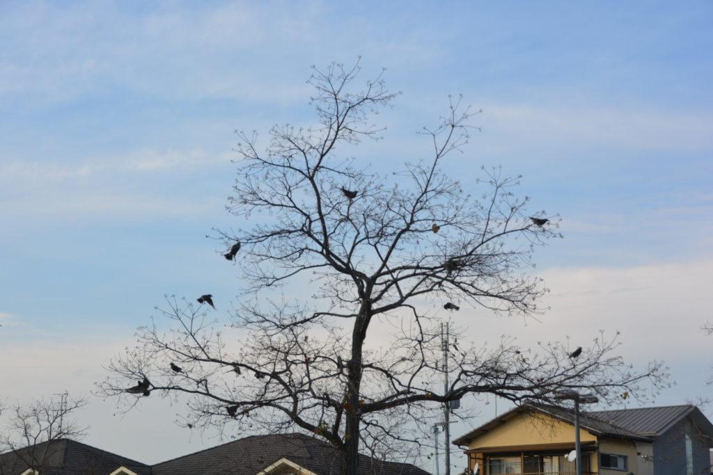 ナンキンハゼの実を食べる鳥たち
