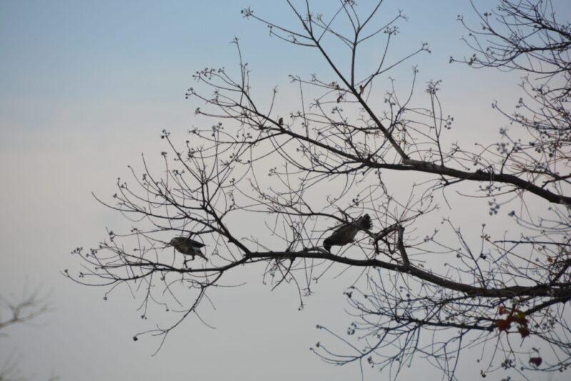 ナンキンハゼと鳥