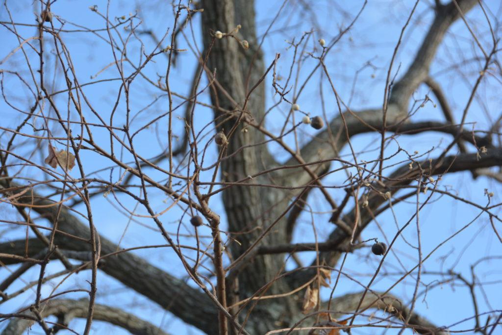 樹についたナンキンハゼの実