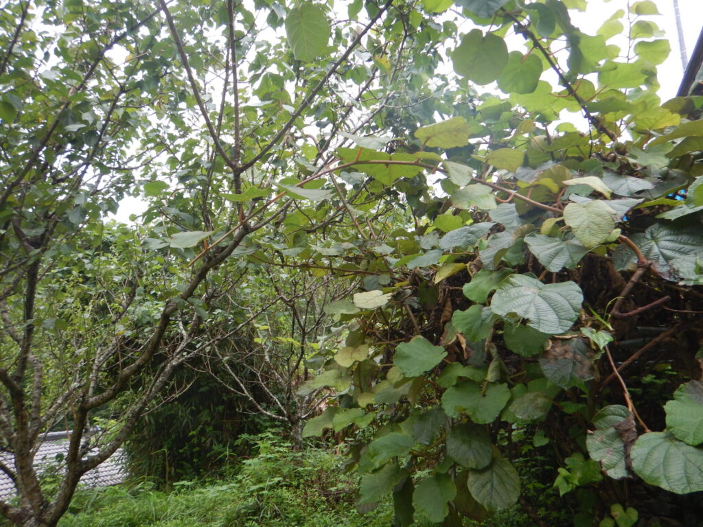 葉が茂ったキウイ(9月)