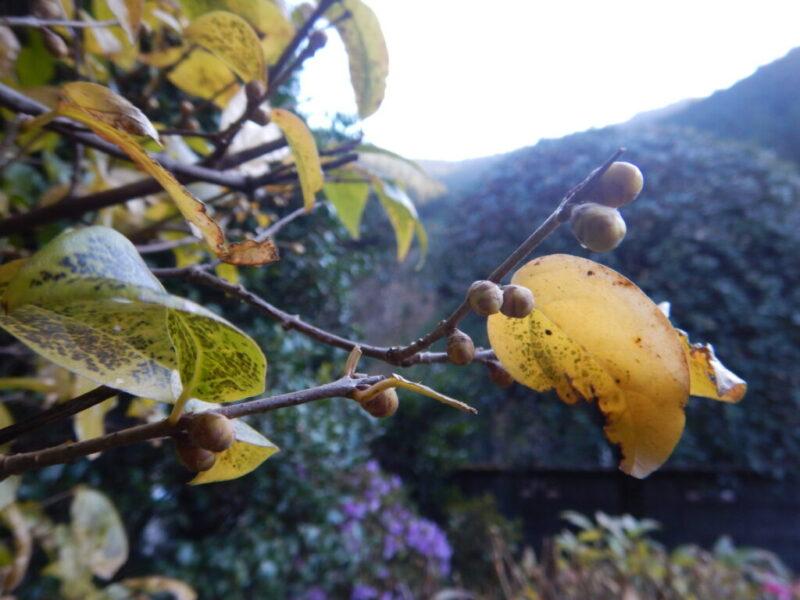 ロウバイの葉とツボミ(12月初旬)