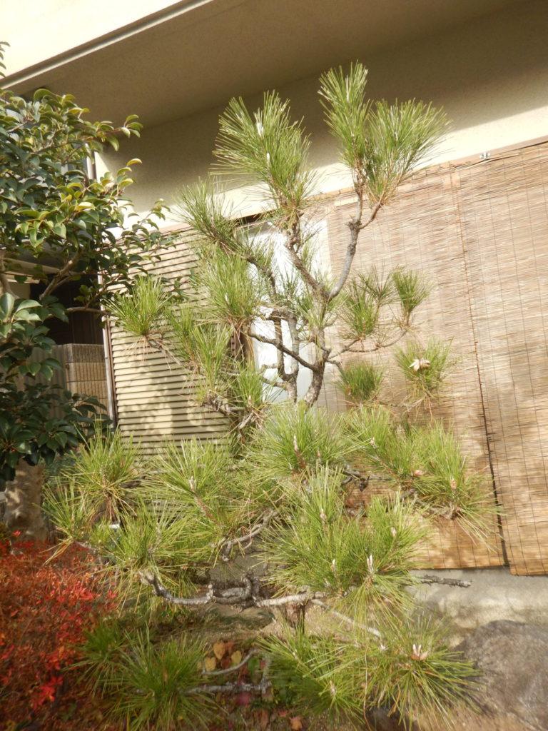 クロマツの樹